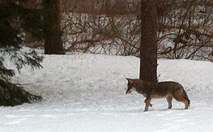 Alan-Coyote