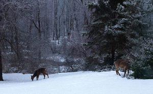 Snow-Deer