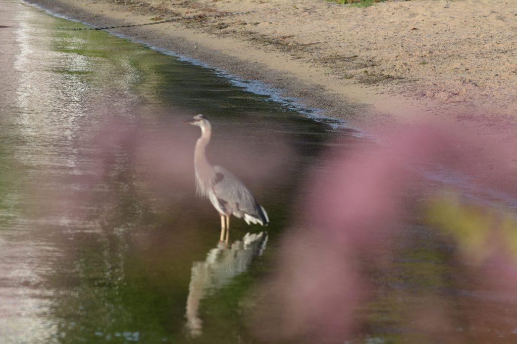 Blue Heron, Chautauqua Lake (Photo: Alan Seale, 2015)