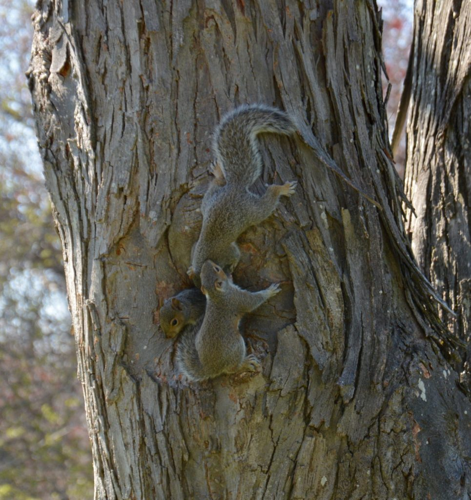 Baby squirrels in Shag Bark Hickory tree in Sleepy Hollow
