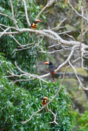 Toucans at Kantara